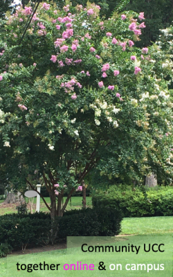 Like these entwined pink and white crepe myrtles, CUCC is together wherever we worship.